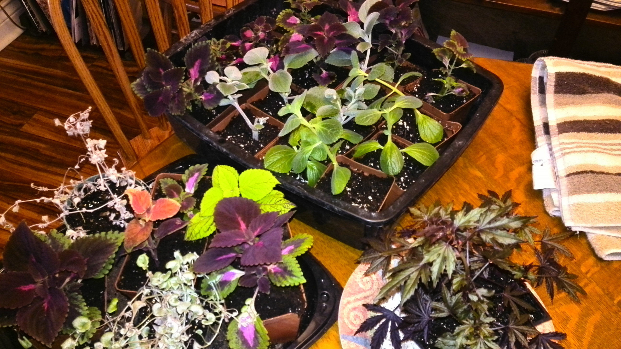 plants getting ready to spread holiday cheer. Plectranthus, Coleus, Hibiscus acetosella, and more!